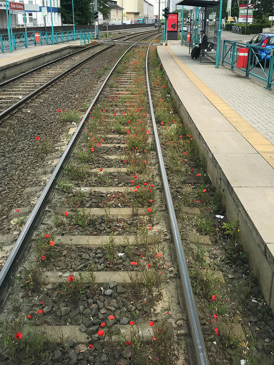 Freuden eines Bahnfahrers: Mohnblumen im Gleis auf der Linie 7 in Poll.